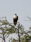 Senegal - Djoudj National Bird Sanctuary / Oiseaux du Djoudj National Park: bird of prey - African Fish Eagle, Haliaeetus vocifer - fauna - bird - photo by G.Frysinger