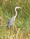 Senegal, western Africa - Djoudj National Bird Sanctuary: Grey Heron, Ardea cinerea Linnaeus - fauna - birds - the park is a UNESCO world heritage site - photo by G.Frysinger