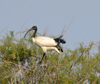 Senegal - Djoudj National Bird Sanctuary:  ibis - photo by G.Frysinger