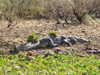 Senegal - Djoudj National Bird Sanctuary: crocodile - photo by G.Frysinger