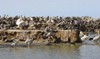 Senegal - Djoudj National Bird Sanctuary:  pelicans Breeding Colony - photo by G.Frysinger
