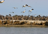 Senegal - Djoudj National Bird Sanctuary:  pelicans colony - photo by G.Frysinger
