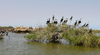Senegal - Djoudj National Bird Sanctuary: cormorants on the vegetation - photo by G.Frysinger
