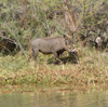 Senegal - Djoudj National Bird Sanctuary: Warthog - Phacochoerus africanus - boar - fauna - photo by G.Frysinger