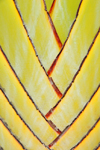 Mahe, Seychelles: Pointe Larue - traveler's palm - Ravenala madagascariensis - petioles detail - photo by M.Torres