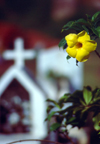 Seychelles - La Digue island: Golden Trumpet / alamanda - flower at the cemetary - photo by F.Rigaud