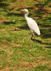 Mahe, Seychelles: egret on the cathedral's lawn - photo by M.Torres