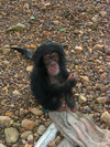 Kono district,  Eastern Province, Sierra Leone:  'Mugabe' - an orphaned baby chimpanzee - photo by T.Trenchard