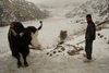 Sikkim, Tsomgo / Changu lake: yak and man by the frozen holy lake - Bos grunniens - photo by G.Koelman