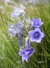 Slovakia - High Tatras: flowers and grass - photo by J.Kaman