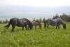 Slovenia - Cerknica municipality: Portrait of horses in field on Slivnica Mountain - photo by I.Middleton