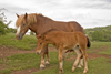 Slovenia - Cerknica municipality: horses in a field on Slivnica Mountain - colt with its mother - photo by I.Middleton