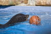 California sea lion playing with ball at Ljubljana zoo, Slovenia - photo by I.Middleton