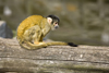 Squirrel monkey in Ljubljana zoo, Slovenia - photo by I.Middleton