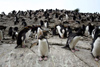 South Georgia Island - Southern Rockhopper Penguins - rookery - Eudyptes chrysocome - Gorfou sauteur - Antarctic region images by C.Breschi