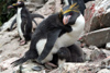 South Georgia Island - Southern Rockhopper Penguin - protecting the chick -Eudyptes chrysocome - Gorfou sauteur - Antarctic region images by C.Breschi