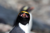 South Georgia Island - Southern Rockhopper Penguin - intense gaze - Eudyptes chrysocome - Gorfou sauteur - Antarctic region images by C.Breschi
