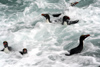 South Georgia Island - Southern Rockhopper Penguins in the waves - Eudyptes chrysocome - Gorfou sauteur - Antarctic region images by C.Breschi