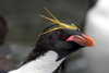 South Georgia Island - Southern Rockhopper Penguin porfile - Eudyptes chrysocome - Gorfou sauteur - Antarctic region images by C.Breschi