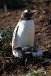 South Georgia Island - Gentoo Penguin - with chick - manchot papou - Pygoscelis papua - Antarctic region images by C.Breschi
