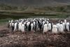South Georgia Island - Gentoo Penguin - rookery - manchot papou - Pygoscelis papua - Antarctic region images by C.Breschi