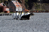 South Georgia Island - Husvik - King Penguins watch a seal - Aptenodytes patagonicus - manchot royal - Antarctic region images by C.Breschi