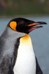 South Georgia Island - King Penguin - profile - Aptenodytes patagonicus - manchot royal - Antarctic region images by C.Breschi