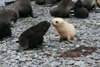 South Georgia Island - Husvik: South American Fur Seal colony- white and blac cubs - Arctocephalus australis - Otarie à fourrure australe - Antarctic region images by C.Breschi