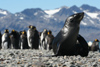 South Georgia Island - South American Fur Seal and King penguins - Arctocephalus australis - Otarie à fourrure australe - Antarctic region images by C.Breschi