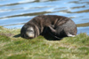 South Georgia Island - South American Fur Seal - a cub takes a nap - Arctocephalus australis - Otarie à fourrure australe - Antarctic region images by C.Breschi