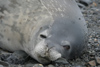 South Georgia Island - Weddell Seal - close up - phoque de Weddell - Leptonychotes weddellii - Otarie à fourrure australe - Antarctic region images by C.Breschi