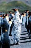 South Georgia Island - Grytviken: Rare Mottled King Penguin - Antarctic fauna (photo by Rod Eime)