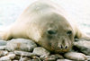 King George island, South Shetlands: a seal resting - photo by G.Frysinger