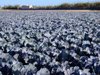 Spain / España - Valencia: cabbages - agriculture - field (photo by M.Bergsma)