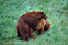 Spain - Cantabria - Parque de la Naturaleza de Cab�rceno: bears copulating - photo by F.Rigaud