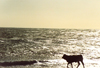 Spain / España - Zahara de los Atunes (Cadiz): cow on the beach - photo by Nacho Cabana