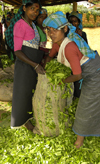 Nuwara Eliya, Central Province, Sri Lanka: tea leaves pickers bagging picked leaves - photo by B.Cain