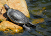 Colombo, Sri Lanka: turtle on a boulder - pond in the Gardens of the Hilton Hotel - photo by M.Torres