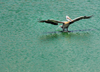 Colombo, Sri Lanka: pelican alighting on Beira Lake - photo by M.Torres