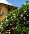 Galle, Southern Province, Sri Lanka: flowers and house near St. Mary's catholic cathedral - photo by M.Torres