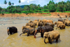 Kegalle, Sabaragamuwa province, Sri Lanka: Pinnawala Elephant preserve - herd of elephants bathing in the river - photo by M.Torres