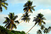 Bentota, Galle District, Southern Province, Sri Lanka: coconut trees along the beach - photo by M.Torres