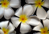 Bentota, Galle District, Southern Province, Sri Lanka: plumeria flowers floating on water - frangipani - photo by M.Torres