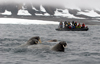 Svalbard - Spitsbergen island: tourists aboard a Zodiac observe a group of  walrus diving for clams in the waters off Spitsbergen - photo by R.Eime