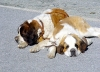 Switzerland / Suisse / Schweiz / Svizzera - Zermatt: St. Bernard dog / chien Saint-Bernard / Hund - Alps (photo by C.Roux)
