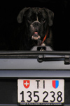 Switzerland - Bellinzona, Ticino canton: dog in a trunk - Swiss license plate - photo by J.Kaman