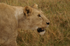 Tanzania - Lioness (close view) in Ngorongoro Crater (photo by A.Ferrari)