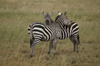 Africa - Tanzania - Zebras looking after each other, Serengeti National Park - photo by A.Ferrari