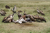 Africa - Tanzania - Vultures having zebra for lunch, Serengeti National Park - photo by A.Ferrari