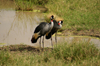 Africa - Tanzania - Crowned Cranes - regulorum gibbericeps, Serengeti National Park - photo by A.Ferrari
